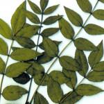 Un arbre bien charentais : le frêne dans Le coin nature Num%C3%A9riser0001-150x150